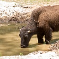 Bison in Georgia